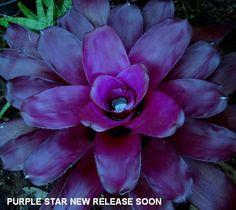 Neoregelia Purple Star