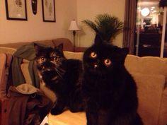 Black exotic shorthair cat with orange eyes