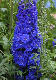 Delphinium elatum 'Cobalt Dreams' (variety for perennial success in mild climates) Delphinium Flowers, Delphiniums, Flowers Perennials, Planting Flowers, Flowers Nature, Purple Flowers, Wild Flowers, Beautiful Flowers, Blue Garden
