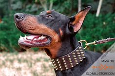 Doberman Collar with Gold Spikes