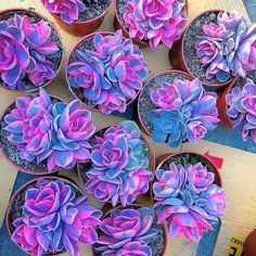 Do you love succulents too? Colorful Succulents, Succulents In Containers, Colorful Plants, Unusual Plants, Cool Plants, Cacti And Succulents, Planting Succulents, Planting Flowers, Succulent Planter Diy