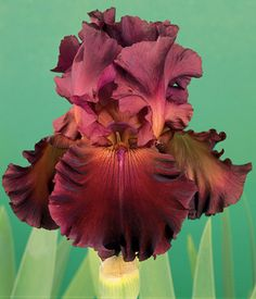 Red Hawk Bearded Iris blooms a gorgeous red with elegant ruffles on the edges. A great companion to the Immortality Bearded Iris. Iris Flowers, All Flowers, My Flower, Planting Flowers, Beautiful Flowers, Iris Garden, Garden Plants, Growing Irises, Bearded Iris