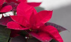 Le poinsettia, l'étoile de Noël – Miss & Mister Corail