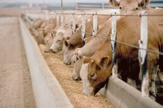 A type of animal feeding operation (AFO), feedlot is being utilized in a factory farming for finishing livestock, particularly beef cattle.  CAFOs or concentrated animal feeding operations is used for large beef feedlots in the United States, while ILOs or intensive livestock operations (or confined feeding operations—CFOs) for Canada.