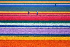 Natural Tulip flower farm in the Netherlands.