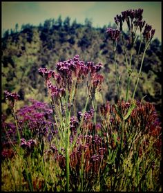 Lavender @Oro-oro ombo Vineyard, Plants, Outdoor, Gold, Outdoors, Vine Yard, Vineyard Vines, Plant, Outdoor Games
