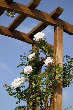 Trying to get roses to grow vertical requires a great deal of attention, as they love to stretch out horizontally. If your climbing roses won't climb, they may need a little coaxing. This article will help with training climbing roses. Yellow Climbing Rose, New Dawn Climbing Rose, Red Climbing Roses, Climbing Rose Trellis, Vine Trellis, Trellis Fence, Garden Trellis, Garden Arbor, Garden Gates