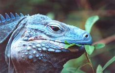 Iguana diet. What they eat? http://www.animalmayhem.com/understanding-iguana-diet/