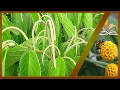YouTube Plant Leaves, Youtube, Plants, Miami, Female Doctor, Herbs, Venezuela, News, Women