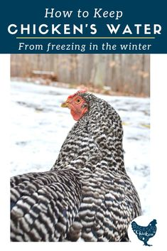 One of the biggest challenges with raising chickens in the winter is how to keep chicken water from freezing. Learn our tips to manage frozen water (even without a heated chicken waterer! Food For Chickens, Chickens In The Winter, Best Egg Laying Chickens, Raising Backyard Chickens, Urban Chickens, Backyard Poultry, Keeping Chickens, Laying Hens, Backyard Farming
