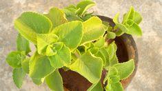 femina.cz - Rýmovníkem nejen na rýmu. Rostlinka, která tě překvapí Nordic Interior, Pesto, Spinach, Life Is Good, Health And Beauty, Succulents, Vegetarian, Herbs, Gardening
