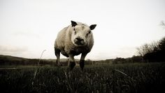 """Our """"Pig Sheep"""" at Capernwray died!    The pig sheep died?! I remember getting chased by him!"""