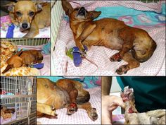 """Mesquite, TX Shelter Rescue """"Hope"""" Mangled Hind Legs - Multiple Pelvic Fractures Open Wounds / Infection, Requires Multiple Surgeries Hope NEEDS YOUR HELP! remember no amount is too small and even $5.00 per person adds up quickly."""