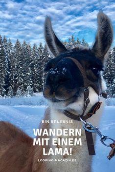 Mal etwas anderes als Skifahren oder Snowboarden #Wandern mit einem #Lama in #Österreich #winter