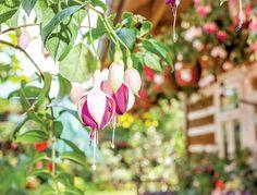 Pěstování fuchsií je vášeň na celý život Plants