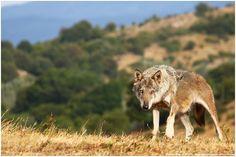 """Conocido como el """"lobo de los Apeninos"""", era endémico hasta hace poco de la Península Itálica. No era considerada como subespecie pero estudios genéticos actuales demostraron ciertas particularidades que la diferencian del resto de subespecies de lobo euroasiático."""