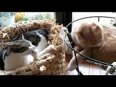 梅雨の晴れ間に毛づくろいする猫s;猫おもしろ動画こむぎ&だいず