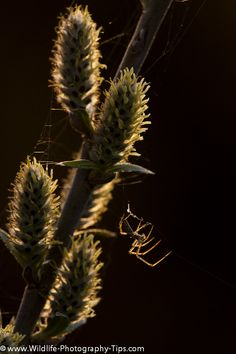 A spider on catkins as the sun sets #macro