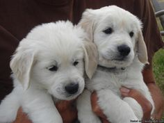 The best breed of dogs in the entire world. English Cream Golden Retrievers. Hands down. No discussion.