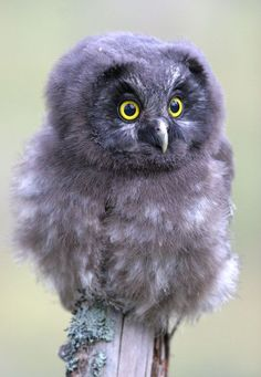 """Baby Tengmalm's owl * * """" NO, IT'S NOT A MIRACLE. I FOUND YER BIBLE LAYIN' IN DE FIELD. IT HAD YER NAME ON THE INSIDE COVER."""""""