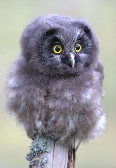 A Tengmalm's owl you Beautiful