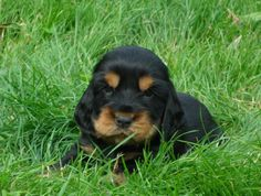 A list of the cutest black and tan cocker spaniel pictures. Are you in the mood to see some adorable photos of cocker spaniels? This is a list of some of the cutest black and tan cocker spaniel photos. American Cocker Spaniel, Cocker Spaniel Puppies, English Cocker Spaniel, Baby Puppies, Dogs And Puppies, Doggies, Animals And Pets, Cute Animals, Dog Training Bells