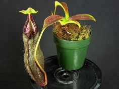 Image from http://www.cascadecarnivores.com/images/nepenthes/izumiae.jpg.