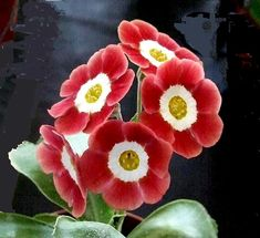'Little Rose' Auricula [Family: Primulaceae]; Shown and  Photographed by Henry Pugh at the Knowle Auricula Show, April 2014