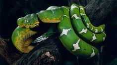 HD Wallpaper 1080p Boa Snake 4