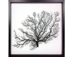 Framed black sea fan - real Gorgonian coral