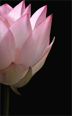 "Lotus Flower - Lotus Petals - IMG_0769 ✮✮""Feel free to share on Pinterest"" ♥ღ www.morebaseballcards.com"