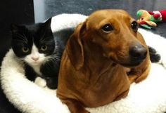 Idgie the Dachshund Has a New BFF: Ruth the Paralyzed Kitten