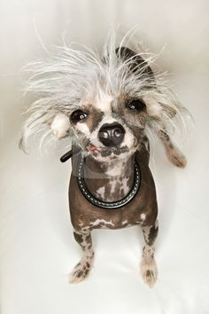 "chinese crested I know people call these ""ugly dogs"" but I think they are cute and full of personality and I would totally bring one home :-D ~~Amy Y."