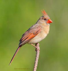 Northern Cardinal Female by Elizabeth.  E. on 500px