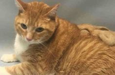 TIGER - A1088506 - - Brooklyn   ***TO BE DESTROYED 09/08/16***Sweet Tiger is a 14 year old orange tabby surrendered to the ACC because his owner is in the hospital. He's a boy who lived in the same home and was probably very happy there. Now he's in a very stressful environment at the shelter which must be scary. He's a little over weight but that means he's definitely an eater! During his intake, he was a little tense but allowed all handling giving