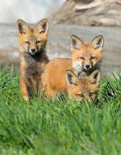 Red Fox Cubs by DawnWilsonPhotography - Dawn Wilson Fantastic Fox, Fabulous Fox, Cute Baby Animals, Animals And Pets, Wild Animals, Wildlife Photography, Animal Photography, Most Beautiful Animals, Cute Fox