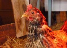 Maalaiselämää, kanojen ja koiran hoitoa. Puutarhan hoitoa ja viljelyä. Pihasuunnittelua, sisustusta, country lifestyle. Rooster, Animals, Animales, Animaux, Roosters, Animais, Animal