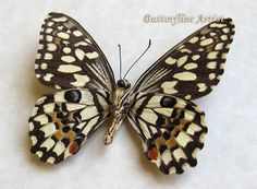 Chequered Swallowtail Papilio Demoleus Verso Real Butterfly Framed In Display by ButterfliesArtist on Etsy