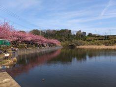 小松ヶ池沿い咲く河津桜