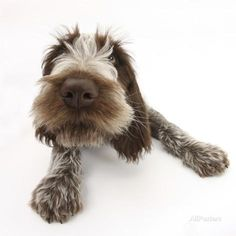 Brown Roan Italian Spinone Puppy, Riley, 13 Weeks, Lying with Head Up Fotodruck von Mark Taylor bei AllPosters.de
