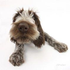 Brown Roan Italian Spinone Puppy, Riley, 13 Weeks, Lying with Head Up Fotodruck von Mark Taylor bei AllPosters.de