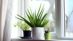 Aloe vera chambre