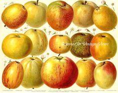 Historical Apple Varieties c1890