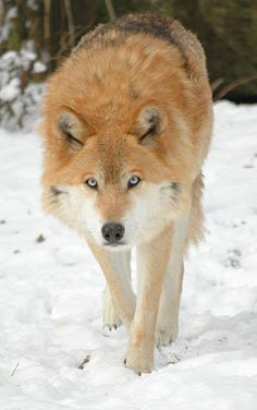 Lobo con ojos azules