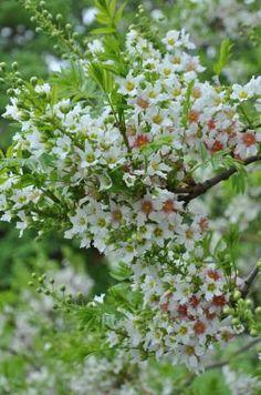 Xanthoceras sorbifolium AGM, H: W: Sheltered, full sun, Bulk Boskoop White Trees, Trees To Plant, Nursery, Herbs, Sun, Garden, Flowers, Plants, Garten