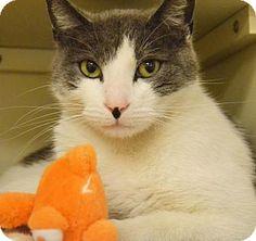 Philadelphia, PA - Domestic Shorthair. Meet Stallone, a cat for adoption. http://www.adoptapet.com/pet/15420855-philadelphia-pennsylvania-cat