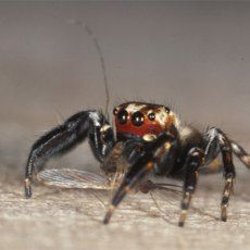 The Spider With A Taste for Vertebrate Blood | Corner of the Cabinet