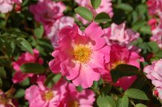 Astrid Lindgren (Poulsen 1989) - List of rose cultivars named after people - Wikipedia, the free encyclopedia