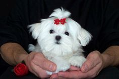 Maltese Puppy Gallery