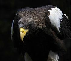 Steller's Sea Eagle of Prey Steller's Sea Eagle, Creature Feature, Sea Birds, Birds Of Prey, Fauna, Kingfisher, Raptors, Bird Feathers, Bald Eagle